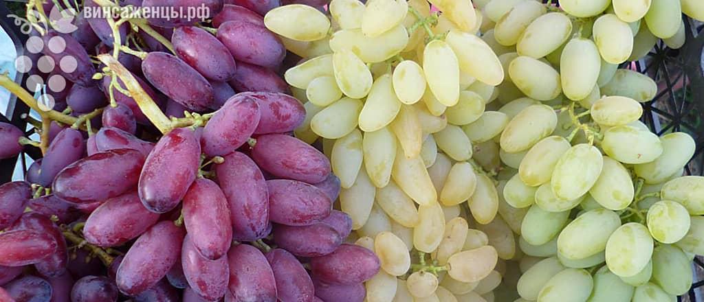 Виноград сорта Резауш
