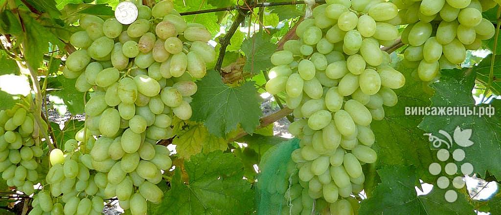 Виноград сорта Кишмиш от Виталия Губанова