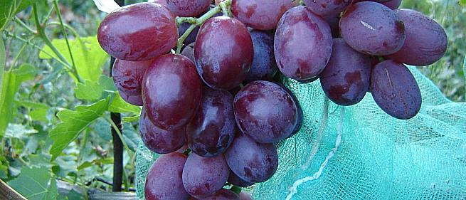 Раннесредний cорт винограда Эверест от -Павловский Е. Г. фото id: 1220462824