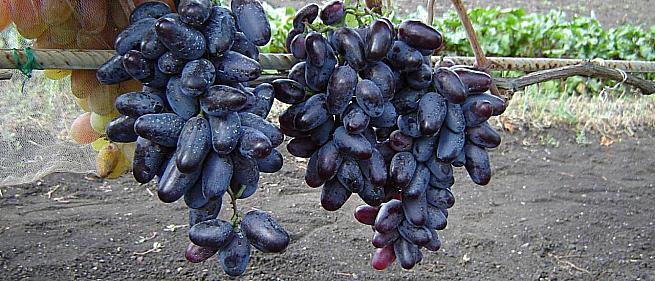 Ранний cорт винограда Эталон от -Павловский Е. Г. фото id: 1085922804