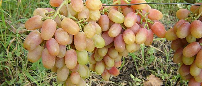 Очень ранний cорт винограда Николь от -Бурдак А. В. фото id: 2101385976