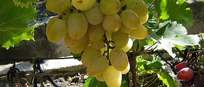 Ранний cорт винограда Новороссия (муза) от Воронюк И. Н. фото id: 2086513233
