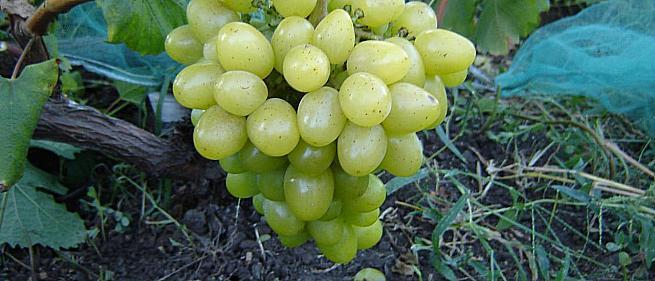Ранний cорт винограда Анжур  от -Карпушев А.В. фото id: 1057552302