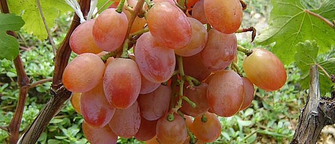 Ранний cорт винограда Эллис от -Карпушев А.В. фото id: 2114703708