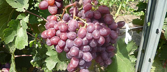 Очень ранний cорт винограда Подарок Винокурову (A-7-10) от -Павловский Е. Г. фото id: 946325127