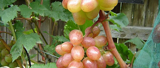 Ранний cорт винограда Амелия от -Карпушев А.В. фото id: 1323373380