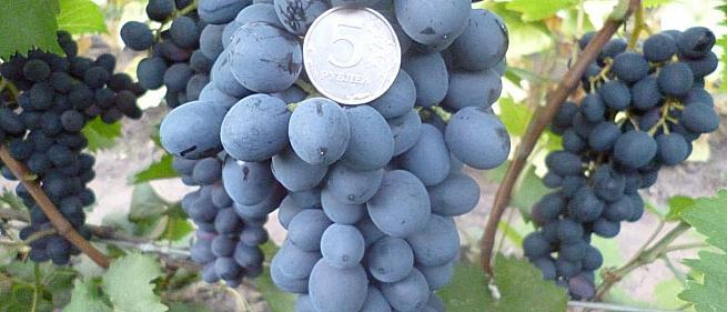 Очень ранний cорт винограда Кишмиш Аттика от Кишмиши фото id: 572887936