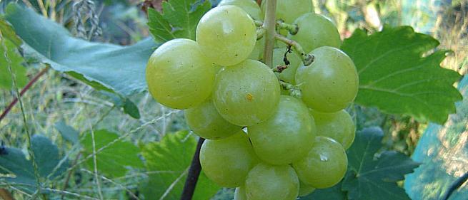 Ранний cорт винограда Барс (B-2-5) от -Павловский Е. Г. фото id: 2029565478