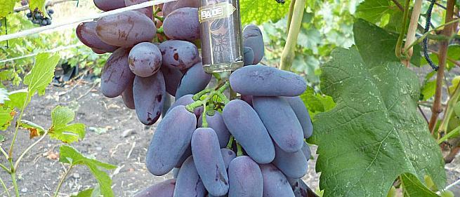 Ранний cорт винограда Байконур от -Павловский Е. Г. фото id: 1071644270