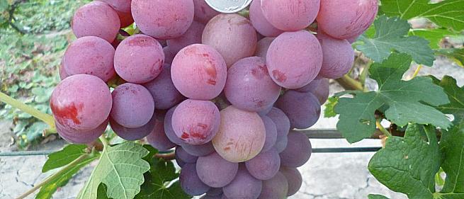 Очень ранний cорт винограда Бодрый от -Павловский Е. Г. фото id: 2029699574