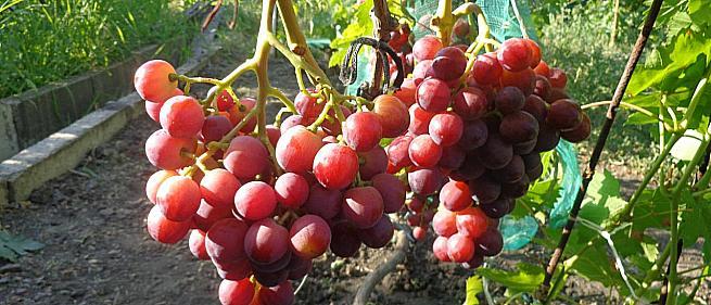 Сорта и гибридные формы винограда от Павловского Е.Г.