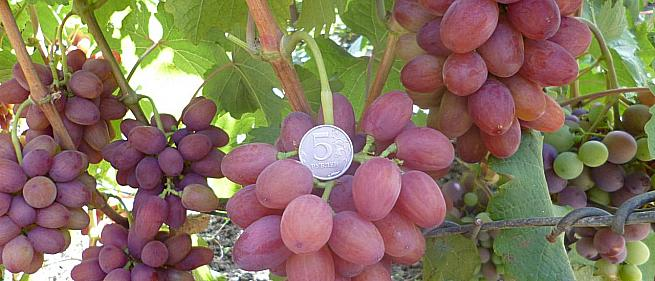 Ранний cорт винограда Богема от -Загорулько В. В. фото id: 74584296