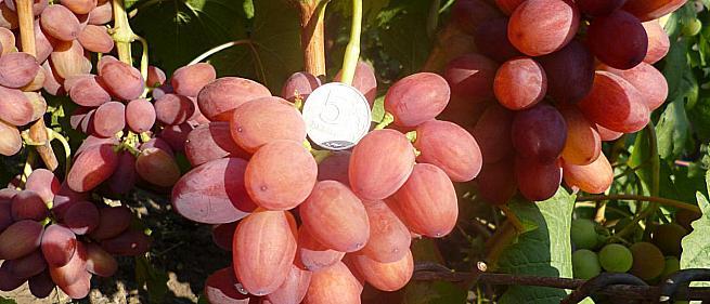 Сорта и гибридные формы винограда от Загорулько В.В.