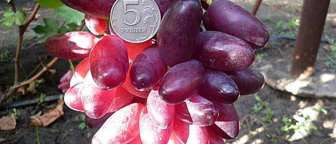 Сорта винограда Японии и Китая