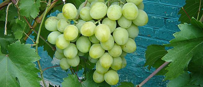 Раннесредний cорт винограда Дарина от -Гусев Сергей Эдуардович фото id: 139425202