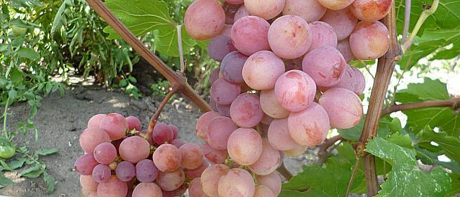 Раннесредний cорт винограда Дашуня от -Вишневецкий фото id: 886786073