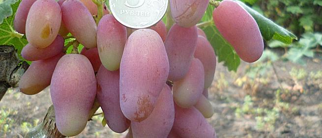 Сорта и гибридные формы винограда от Бурдак А.В.