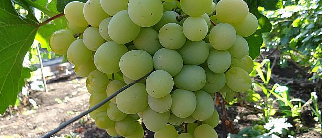 Ранний cорт винограда Талисман (Кеша 1) от Столовые сорта и ГФ фото id: 1001704174