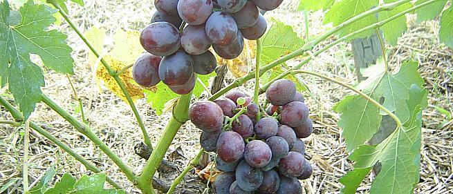 Ранний cорт винограда Джонни от -Павловский Е. Г. фото id: 1127545359
