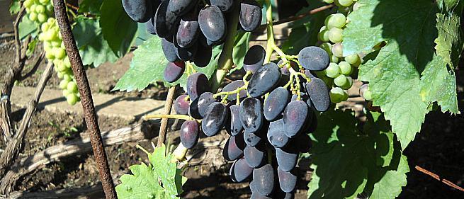 Очень ранний cорт винограда Ранняя надежда от -Голуб фото id: 338112030