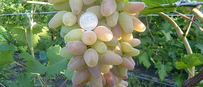 Раннесредний cорт винограда Фиеста от -Карпушев А.В. фото id: 1889866306