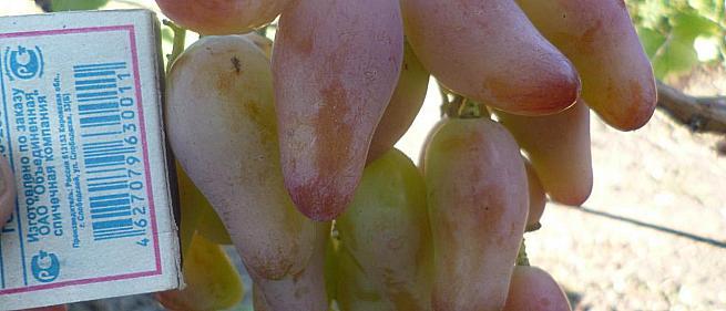 Раннесредний cорт винограда Фламенко от -Карпушев А.В. фото id: 1807155122