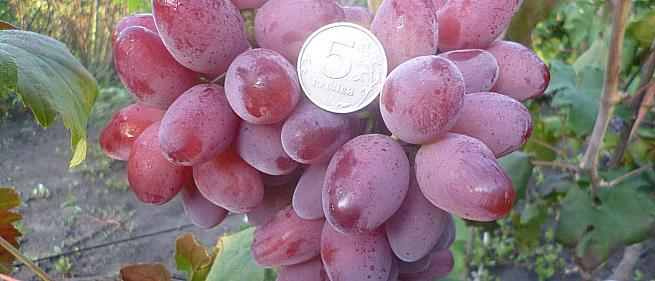 Ранний cорт винограда Гусар от -Гусев Сергей Эдуардович фото id: 545658671