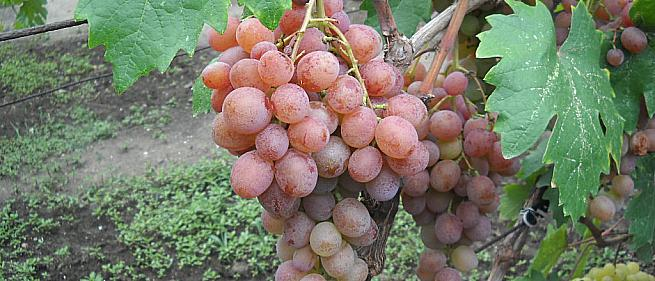 Очень ранний cорт винограда Хамелеон от -Вишневецкий фото id: 1497189581