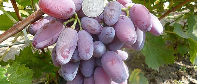 Раннесредний cорт винограда B-2 от -Загорулько В. В. фото id: 769655006