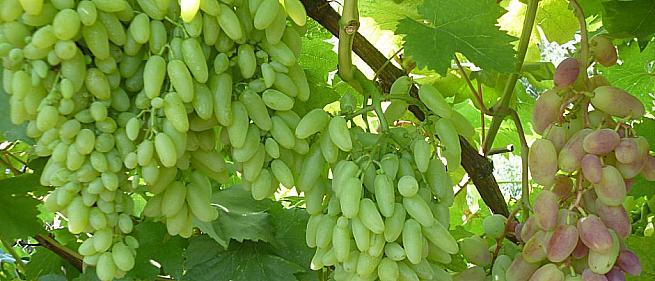 Ранний cорт винограда Кишмиш Столетие от -Кишмиши фото id: 1440664309