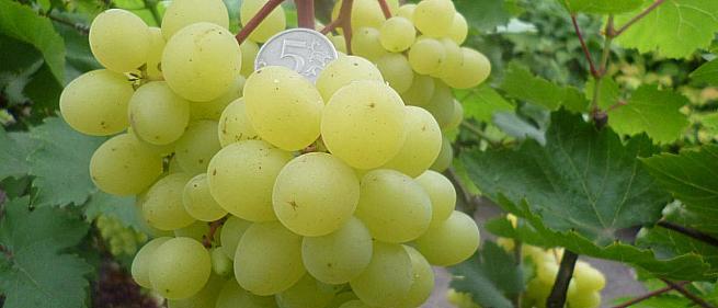 Очень ранний cорт винограда Цимус от -Пысанка О.М. фото id: 1749938276