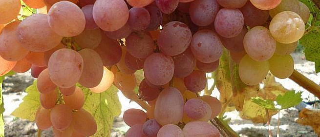 Очень ранний cорт винограда Кишмиш Велес от -Кишмиши фото id: 2128589508