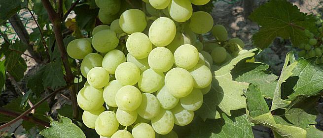 Средний cорт винограда Кишмиш Принцесса от Кишмиши фото id: 1690902288