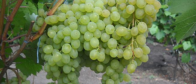 Ранний cорт винограда Кишмиш Русбол от -Кишмиши фото id: 1909926214