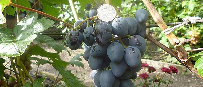 Очень ранний cорт винограда Кальмиус от -Карпушев А.В. фото id: 434218761