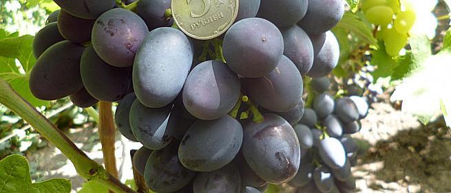 Очень ранний cорт винограда Краса Балок от -Столовые сорта и ГФ фото id: 852557552