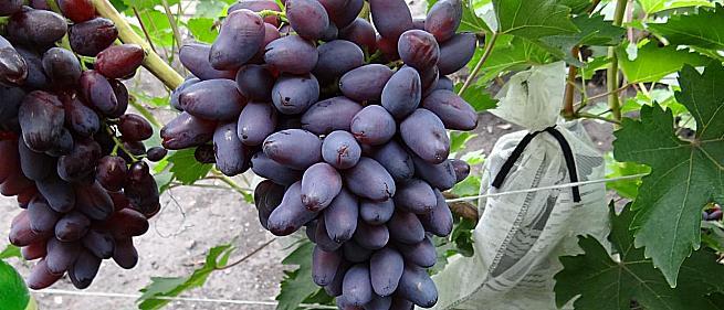 Ранний cорт винограда Красотка от -Павловский Е. Г. фото id: 1380007883