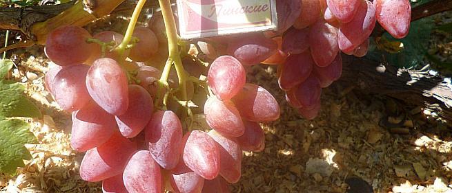 Очень ранний cорт винограда Криптон от -Карпушев А.В. фото id: 414259419