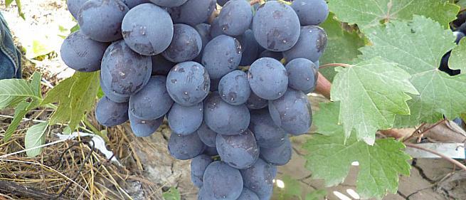Очень ранний cорт винограда Ласточка от -Павловский Е. Г. фото id: 2026613946