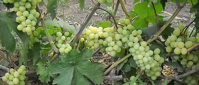 Ранний cорт винограда Алекса мускатная  (Леди) от -Воронюк И. Н. фото id: 1189005721
