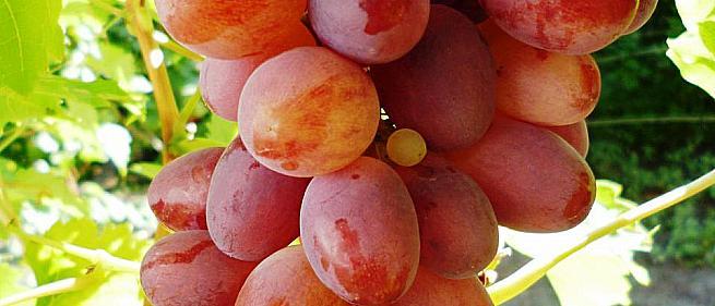 Очень ранний cорт винограда Лёлик от -Павловский Е. Г. фото id: 1029545350