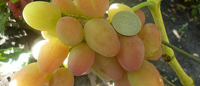 Ранний cорт винограда Лолита от -Гусев Сергей Эдуардович фото id: 2037756262