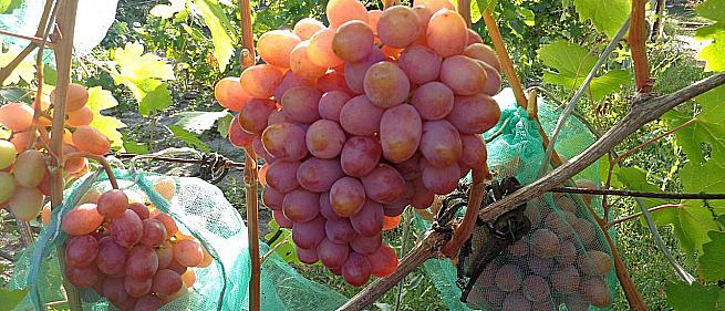 Очень ранний cорт винограда  Нежность от -Крайнов В. Н. фото id: 1241520111
