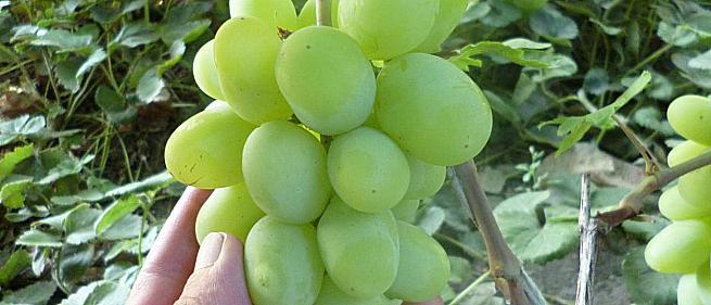 Очень ранний cорт винограда Олимп от -Гусев Сергей Эдуардович фото id: 1466868867