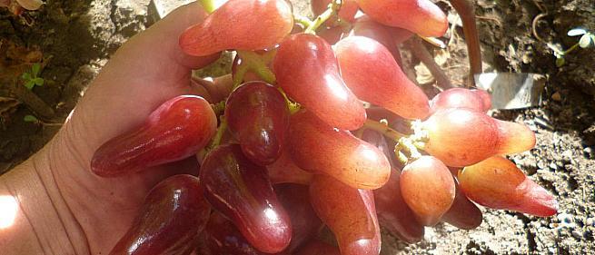 Ранний cорт винограда Оскар от -Карпушев А.В. фото id: 1875741137