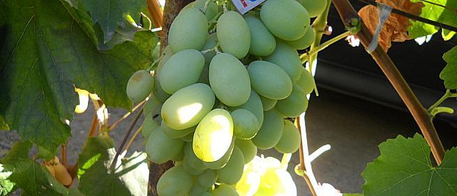 Сорта и гибридные формы винограда от Литвинова Г.М.