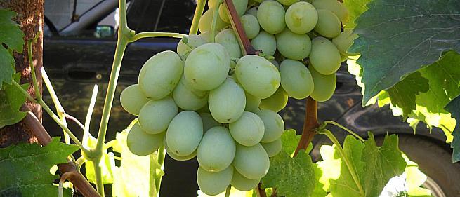 Средний cорт винограда Ойкумена от -Литвинов Г. М. фото id: 1619556372