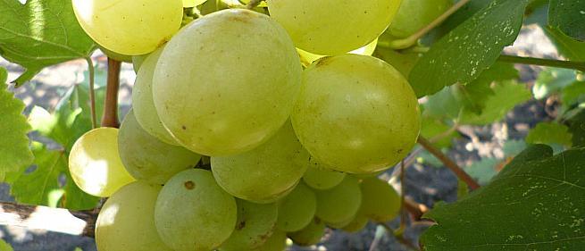 Ранний cорт винограда Озон от -Павловский Е. Г. фото id: 2010414277