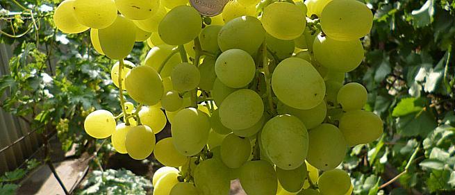 Очень ранний cорт винограда Супер-Экстра от -Павловский Е. Г. фото id: 1925458269