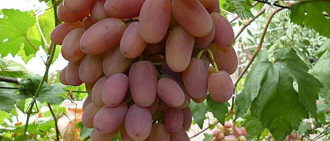 Сорта и гибридные формы винограда от Крайнова В.Н.